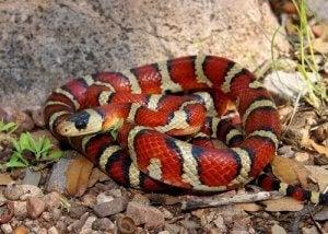 aposématisme : faux serpent corail
