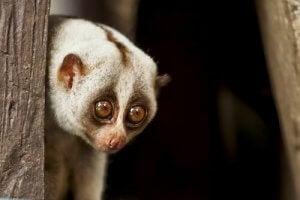 vidéos d'animaux : loris lent en danger