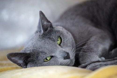 races de chats : le bleu russe