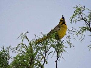cardinal jaune sur un arbre