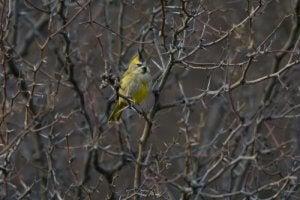 cardinal jaune entre des branches
