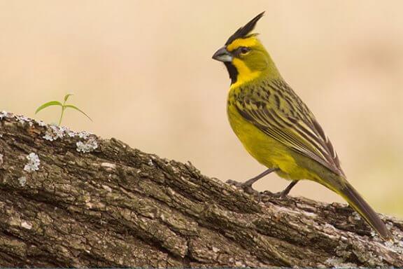 Le cardinal jaune, un oiseau au chant doux et mélodieux