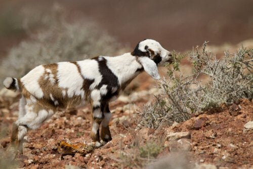 Les chèvres de Fuerteventura