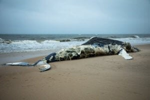 explosion de baleines mortes