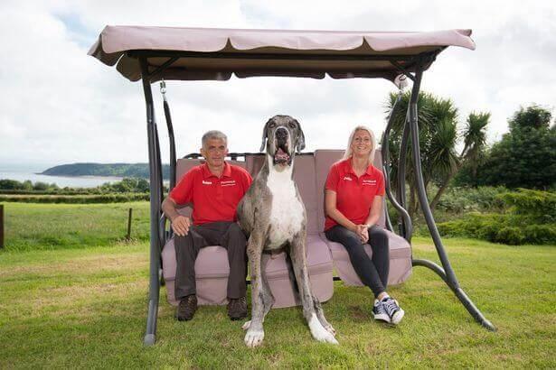 le plus grand chien est un dogue allemand