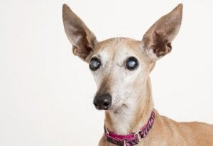 traitement du glaucome chez le chien