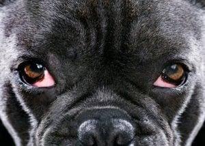 symptômes du glaucome chez les chiens