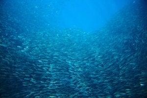 migrations des sardines