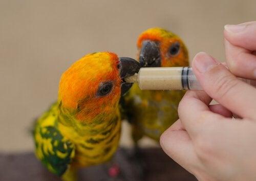 nourrir un oiseau affaibli ou blessé avec de la bouillie au moyen d'une seringue