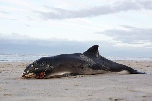 Pourquoi les cadavres de baleines explosent-ils ?