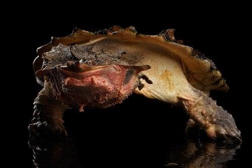 Caractéristiques et répartition de la tortue matamata