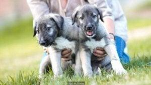 chiens vrais jumeaux