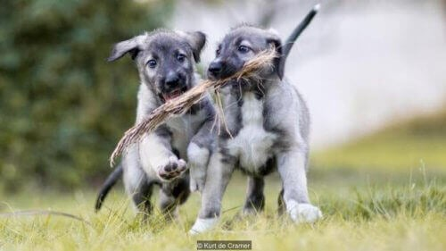 Partez à la rencontre des premiers chiens vrais jumeaux
