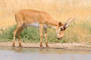 Une antilope taïga