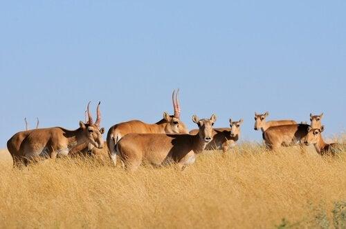 L'antilope saïga, une espèce à la vie difficile