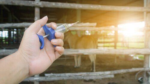 l'application des antiparasitaires sur les bovins