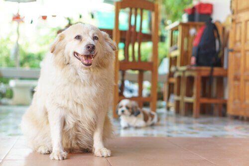 7 signes que votre chien souffre d'arthrite