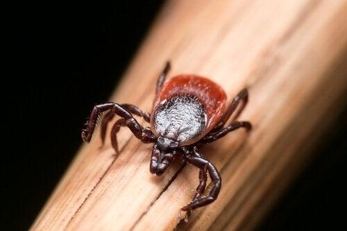 la bactérie de la maladie de Lyme