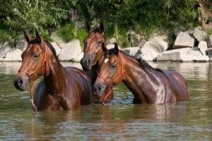 rafraîchir votre cheval en été