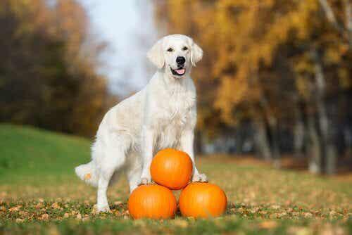 Les bienfaits de la citrouille chez les chiens