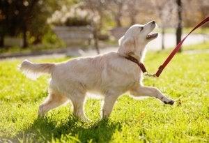 mouvements de queue chez le chien