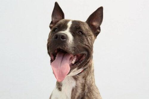 Ecoy, le chien volé et forcé à participer à des combats illégaux, cherche un foyer