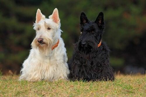Découvrez 4 races de chiens écossais
