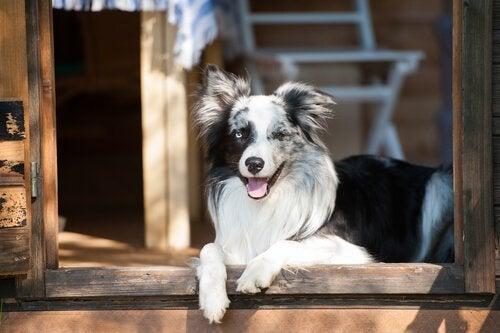 Pourquoi les chiens voient des portes invisibles