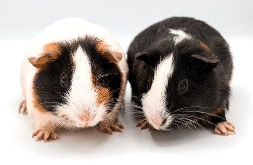 Curiosités sur les cochons d'Inde