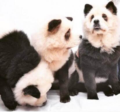 Chow-chow panda : est-ce un chien ou un panda ?