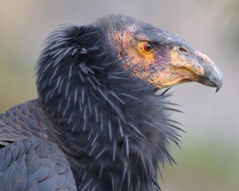Condor de Californie : son rôle en tant que nettoyeur de la nature