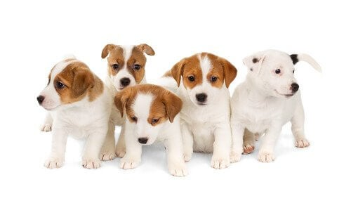 étude sur la couleur chocolat chez le Labrador Retriever