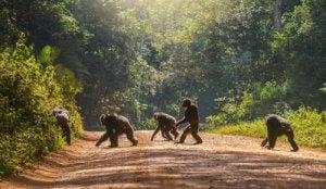 caméras traps et gorilles