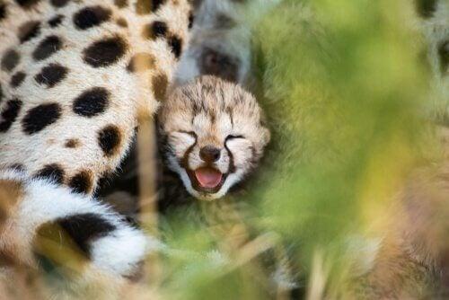 La conservation du guépard