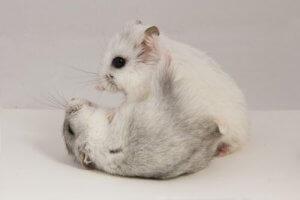 deux hamsters