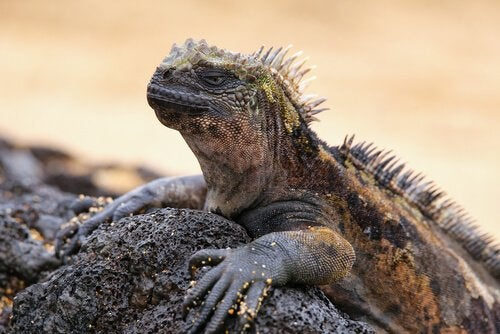 L'iguane marin des îles Galapagos