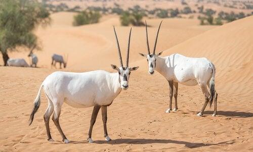 Des Oryx d'Arabie dans leur habitat naturel