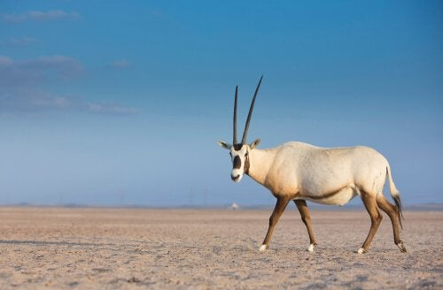 Reproduction et conservation de l'Oryx d'Arabie
