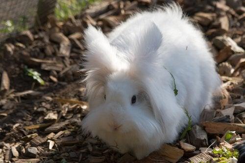 Comment élever un lapin nain angora