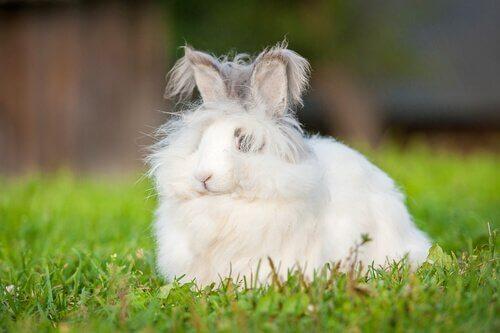 Un lapin nain angora dans l'herbe