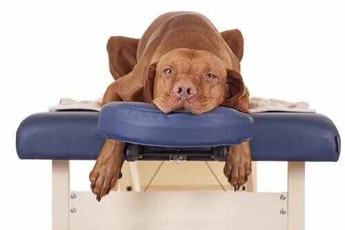 En quoi consiste l'ostéopathie canine et quels sont ses avantages ?