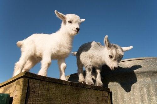 nanisme chez les chèvres