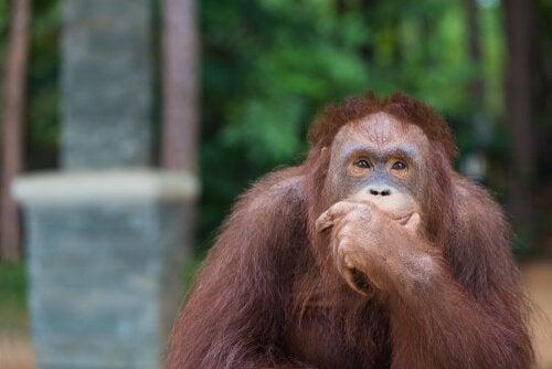 Les orangs-outans réinventent l'hameçon