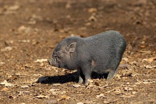 Un bébé cochon vietnamien
