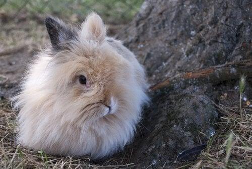 Comment élever un lapin nain angora ?