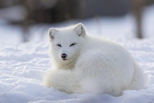 Le renard arctique : un animal sociable et territorial