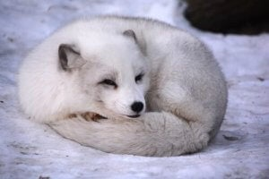 renard arctique enroulé dans sa queue