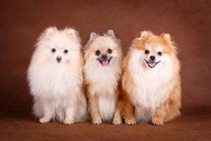 races de chiens rares : spitz nain