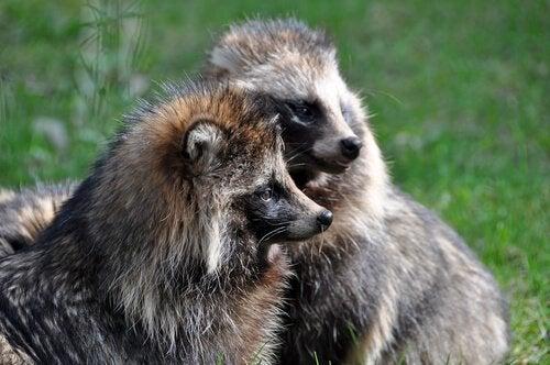 Le Tanuki, ou chien raton-laveur, un animal surprenant