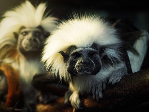 singe Titi à tête blanche